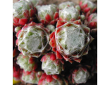 Sempervivum Bascour Zilver