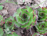 Sempervivum Frosty